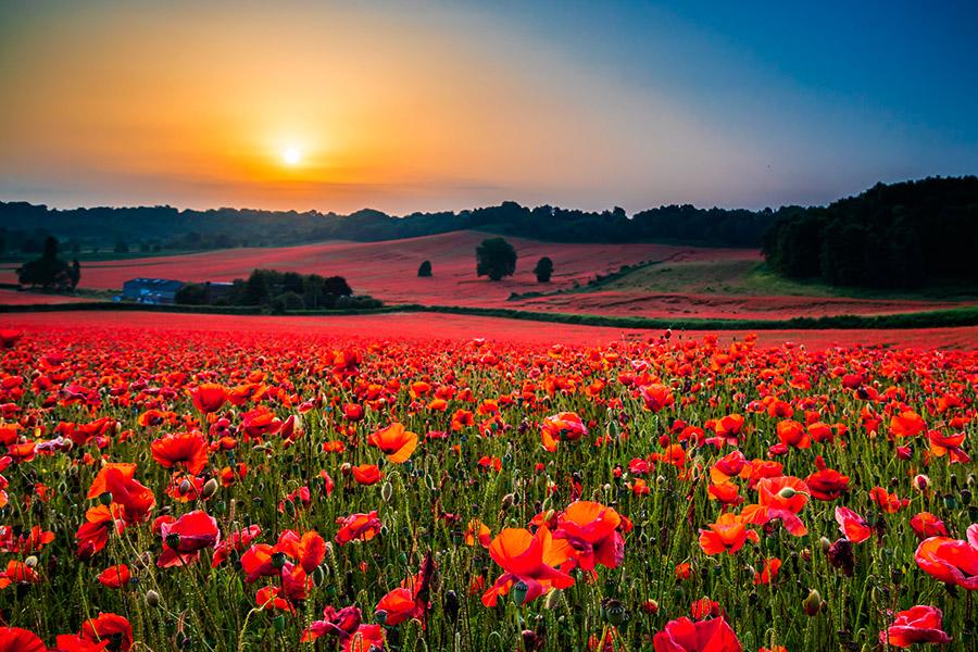 west midlands poppy fields